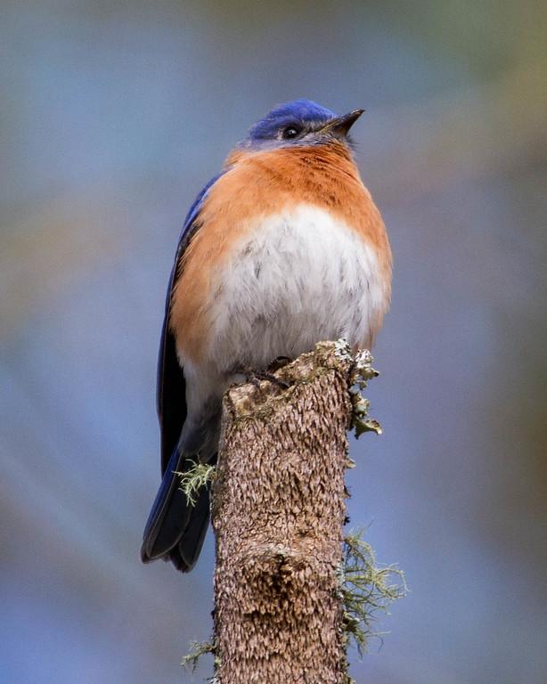 IMAGE: https://dougmoon.smugmug.com/Birds/i-Drq6TWc/0/XL/BB%2002122016-6432-XL.jpg