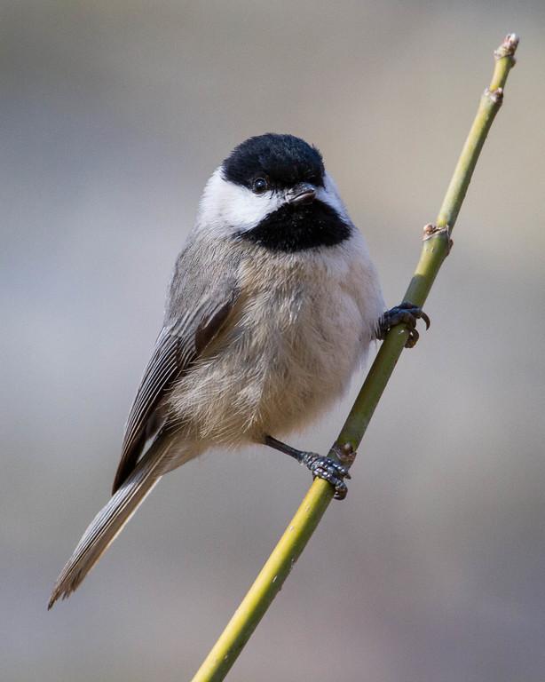 IMAGE: https://dougmoon.smugmug.com/Birds/i-ZLVNXbv/0/XL/Chickadee%2002122016-6634-XL.jpg