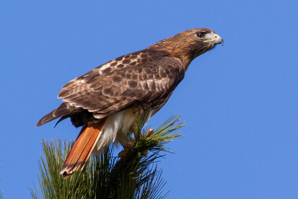 IMAGE: https://dougmoon.smugmug.com/Birds/i-wpxPpPL/0/XL/Hawk%2001232016-5490-XL.jpg